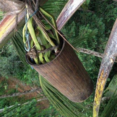 Kokosblütennektar wird an Palme aufgefangen
