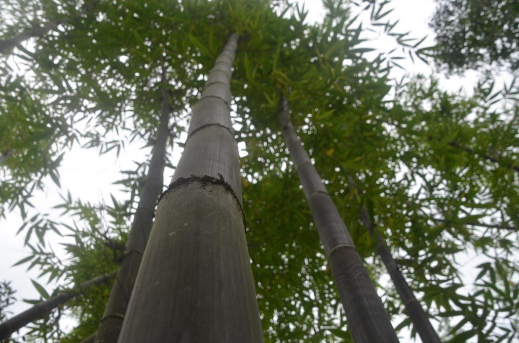 Bambus wächst bis zu 20m hoch