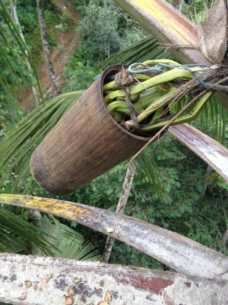 Bambus ist ebenso Teil der Kokosblütenzuckerernte